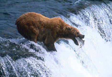 File:Brooks-brown-bear 8203.jpg