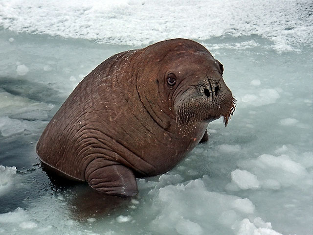 File:Young Walrus.jpg