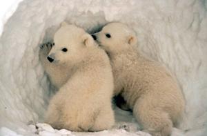File:Polarbearcubslarge.jpg