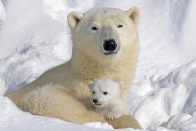 Mommy-and-Cub-polar-bears-12265191-900-600