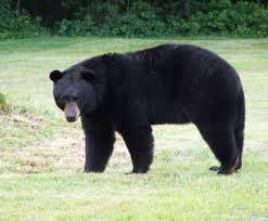 File:Black Bear.jpg