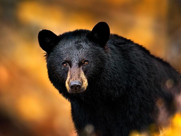 File:Blackbear-headshot.jpg