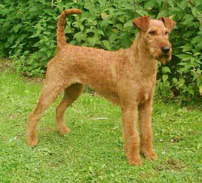 File:Irish Terrier.jpg