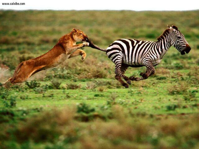 File:The Attack Lioness and Zebra 1280x960.jpg