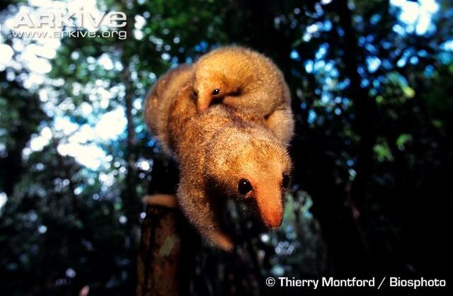 File:Silky Anteater Carrying Young.jpg