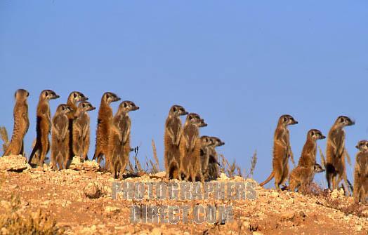 File:Meerkats.jpg