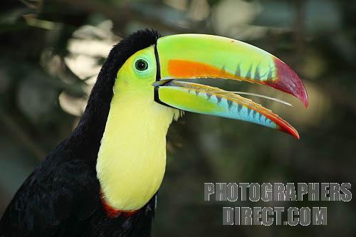 File:Keel-Billed Toucan.jpg