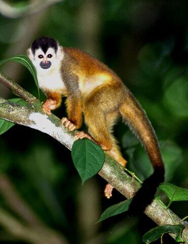 File:Squirrel Monkey.jpg