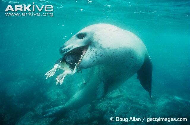 File:Fierce Seal.jpg
