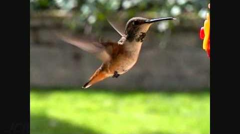 Slow motion female Allen's Hummingbird close-up feeding 300fps(trimmed) V09072