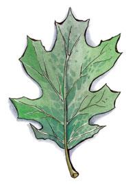 Silvanus symbol.jpg