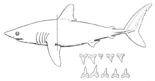 File:Mackerel shark.jpeg