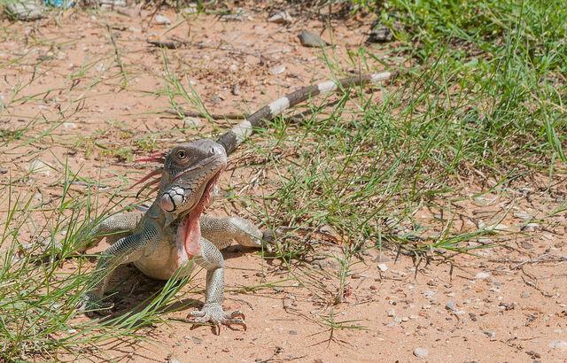 File:1200px-Iguana from Vereda del Lago 2.jpg