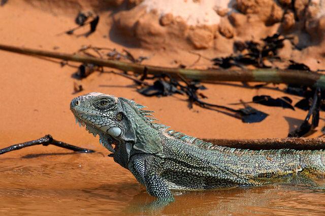 File:1200px-Green iguana (Iguana iguana).jpeg