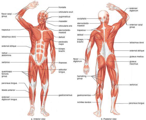 File:Muscle.jpg
