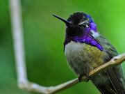 Tori tori no mi model hummingbird