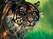 Harapan sumatran tiger