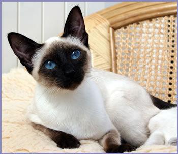File:Beautiful siamese siamese cats 18845123 350 303 by starhavenfireheart-d89rwdo.jpg