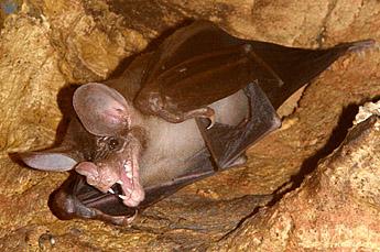 File:Vampyrum roosting.jpg