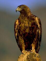 Golden eagle2