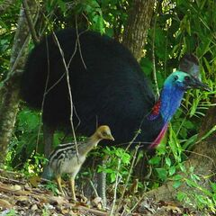 The Bodak, most dangerous bird in Constantine