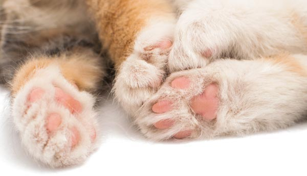 File:1-Cat-Paws-shutterstock 224014087 2.jpg