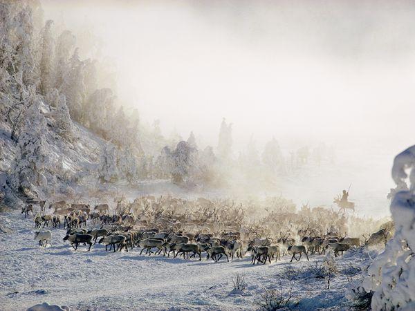 File:Siberian-reindeer-conger 31419 600x450.jpg