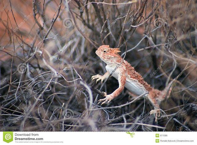 File:Southern-desert-horned-lizard-611586.jpg