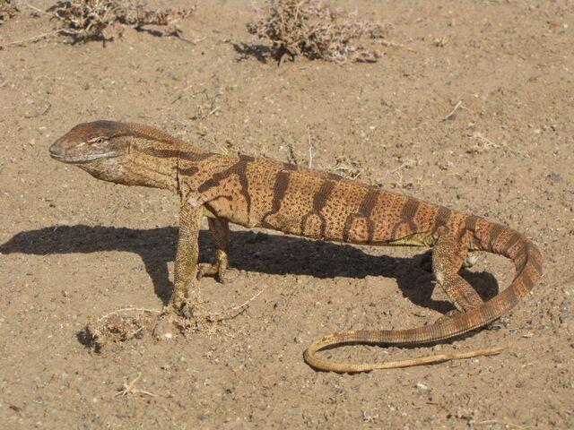 File:Lizards-fig8a.jpg