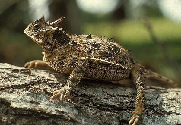 File:Horned lizardlarge.jpg