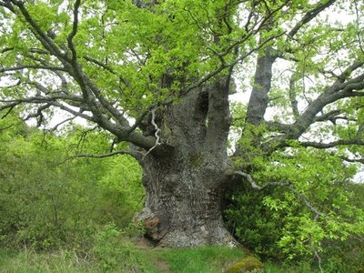 File:Great Oak of The Smurf's Forest.jpg