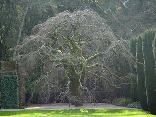 Beautiful-elm-tree