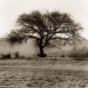 Alan-Blaustein-Willow-Tree-157192