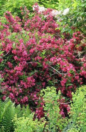 Red-shrub-weigela