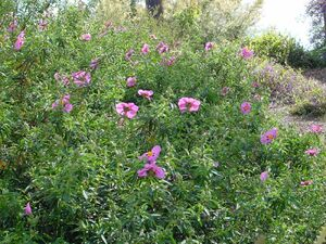 Cistus purpureus (rockrose)