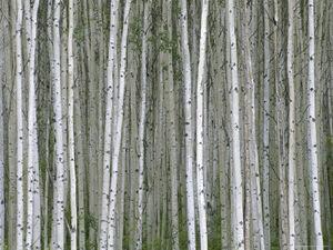 Momatiuk-eastcott-aspen-tree-trunks-in-summer