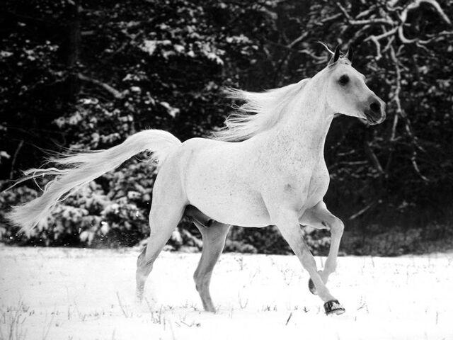 File:Snow-white-horse-wallpaper-1024x768.jpg