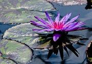 1-lily-pad-with-flower-athena-mckinzie