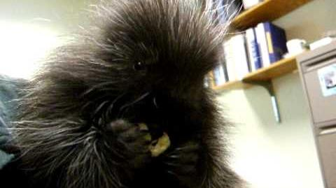 Porcupine eating a banana