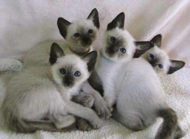 File:Kittens-for-adoption-P128707.jpg