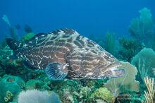 Black-grouper-fish-cuba-026810