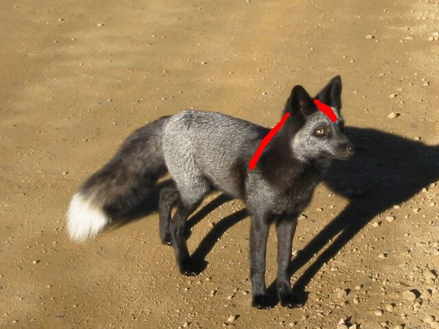 File:Bloodfang in real life.jpg