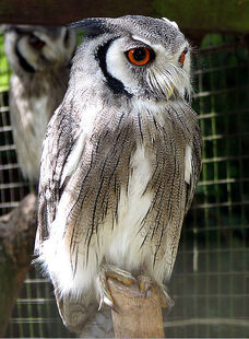 441px-Northern white-faced owl arp