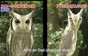 Thin owl