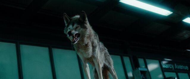 File:Maxim Horvath's Wolf.jpg