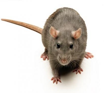 File:Brown-rat.jpg