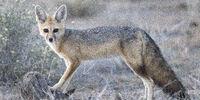 Australian Fox (New Pleistocene)