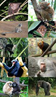 Primate diversity.jpg