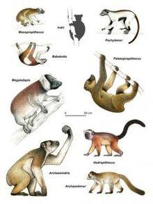 Malagasy lemurs