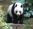 Rise of the Planet of the Panda